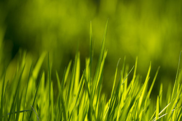 Green grass texture. Element of design.
