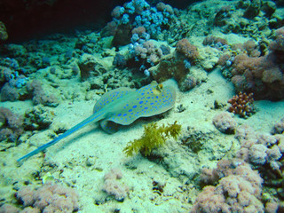Skate roundrays stingrays whiprays tropical fish on coral reefs