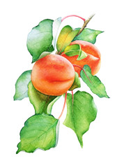 Watercolor illustration of the peach tree branch with fruits and