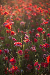 Blooming poppy field at sunset, close-up, Latvia