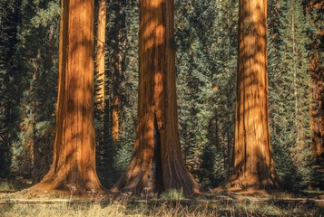 Wall Mural - Three Ancient Sequoias