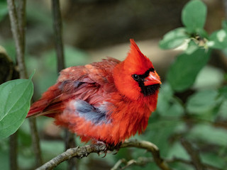 View Red Cardinal Wallpaper Pictures