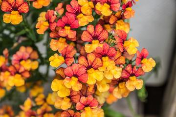 Elfenspiegel - Sunsatia Blood Orange