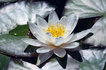 white lotus lily flower on water