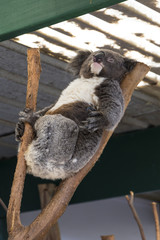 Koala Sleepig in a tree