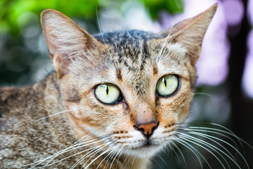 Portrait of yellow eyed tabby cat. Kitty isolated on background.Copy space.Clipping path.