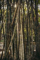 Bamboo, SW, Australia