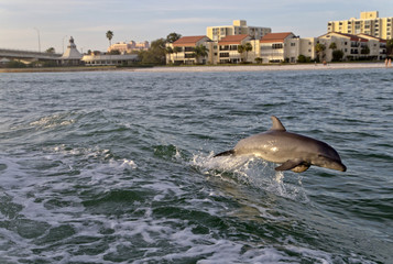 Playful Bottlenose Dolphin in Clearwater, Florida