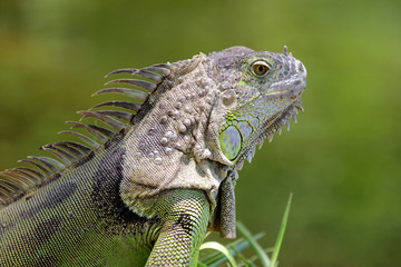 green iguana with nature background