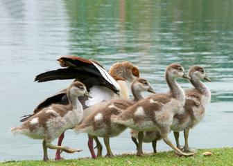 One adult Egyptian Goose with baby geese walking on green grass next to a calm lake. Egyptian geese were considered sacred by the Ancient Egyptians, and appeared in much of their artwork.