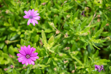 Fresh beautiful blooming purple Aster flower with bright blurred green leaves garden background on sunshine day, selective focus