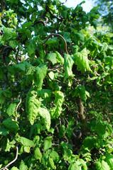Сorylus avellana contorta or european filbert green shrub foliage