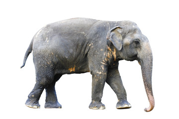 Asia elephant on isolated white background.with clipping path