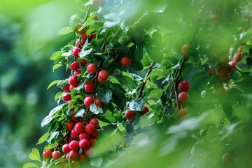 Fruits of red cherry plum in the garden after the morning rain