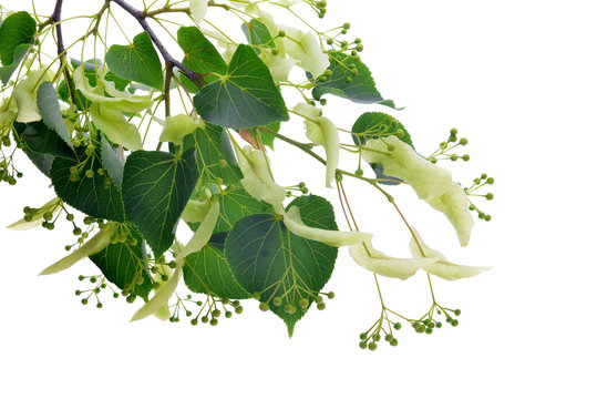 Blossoming twig of linden with leaves isolated on a white background.
