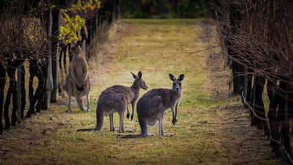 Tuinposter Kangoeroe Kangaroos amongst the grape vines.