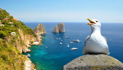 Seagull sitting on a rock, at the background Faraglioni rocks. Capri island, Campania region of Italy.