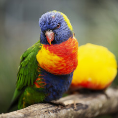 Rainbow lorikeet outside during the day.