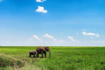 Browsing African elephants or Loxodonta cyclotis Wall mural