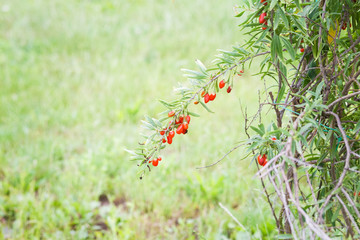 Goji plant with fruits