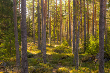 Papiers peints Forets Summer forest in Finland