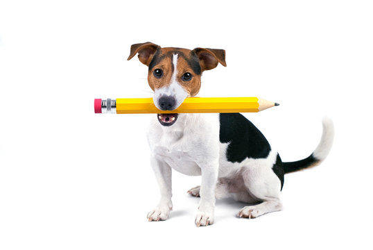Portrait of cute young jack russell terrier dog sitting and hold large yellow pencil, isolated on white background, looking at camera. Back to school concept