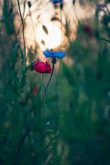 Blooming poppy and cornflower in meadow in backlight of evening sun.