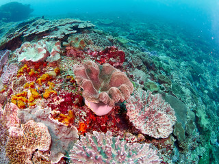 Soft coral reef