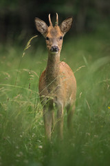 Wall Mural - young male deer