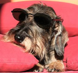 Cane bassotto a pelo ruvido sul divano con occhiali da sole