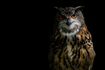 Poster Uil Eagle Owl on black background
