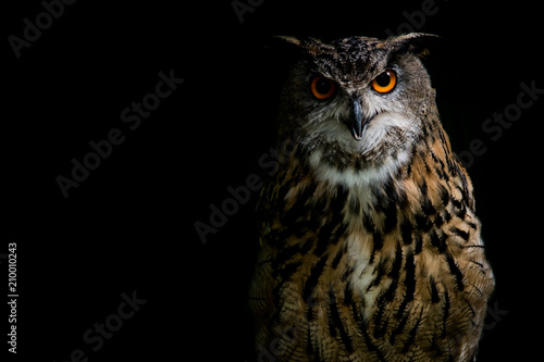 Wall mural Eagle Owl on black background