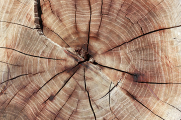 Wood texture year-old rings background