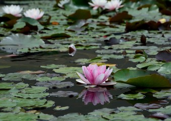Wall Murals Water lilies 睡蓮(Water lily)の花咲く