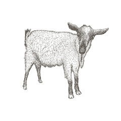 Hand drawn vector illustration of goat