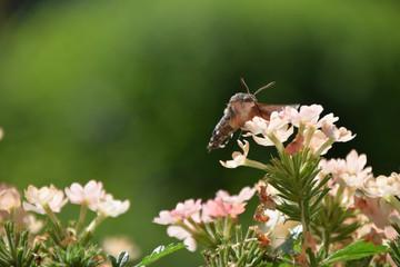 bee hawk-moth side view drinking nectar,  hummingbird hawk-moth sucking nectar from a flower