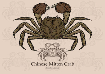 Chinese Mitten Crab. Vector illustration with refined details and optimized stroke that allows the image to be used in small sizes (in packaging design, decoration, educational graphics, etc.)