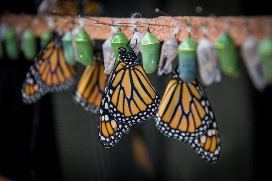 Benalmadena, Spain; March 29, 2018: Butterflies being born from their crisalida