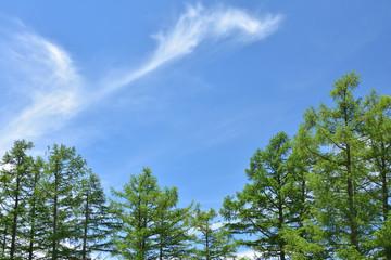高原のカラマツと青空
