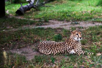 Beautiful Cheetah , Acinonyx jubatus lying down on green grass and looking at camera. vigilant gepard closeup. Photograph taken in the zoo. Close up