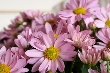 Spring background. Fresh pink Leucanthemum .Nature background with copy space.