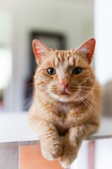 Orange house cat looking at camera