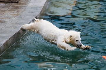 Printed roller blinds Polar bear Polar bear cub jumps into the water