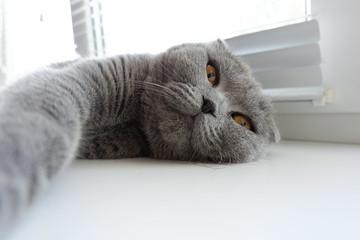 A cat takes a selfie. Scottish fold blue.
