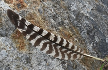 Turkey feather on rock