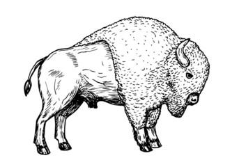 Drawing of american bison - hand sketch of buffalo animal, black and white illustration