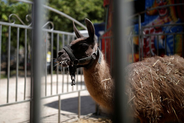 A llama is seen in a pen on the Invalides Esplanade during a demonstration held by a group of fairground and circus workers that support the use of animals in their shows, and protest against the cancellation of circuses in Paris
