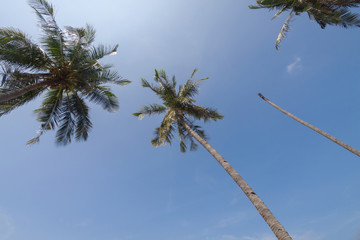 coconut palm on the blue sky background.