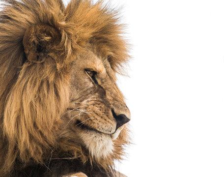 Lion face close-up