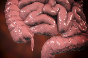 Human colon with appendix, 3D illustration. Anatomy of human digestive system